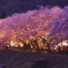 Miyagino Cherry blossom festival in Summer